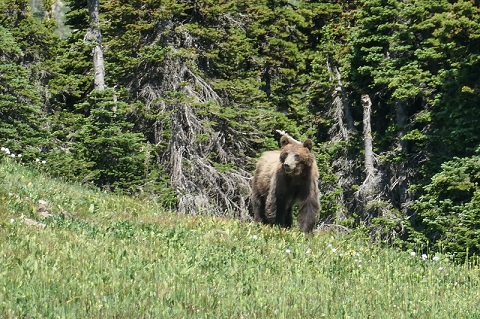 Grizzly bear Montana