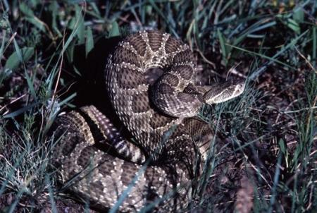 Prairie Rattlesnake NPS