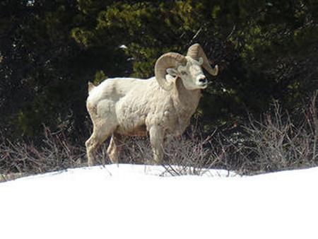 Bighorn Sheep Glacier