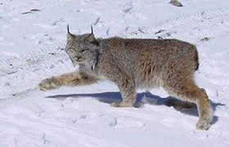 Lynx Bobcat Glacier