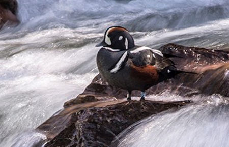 Harlequin duck Glacier