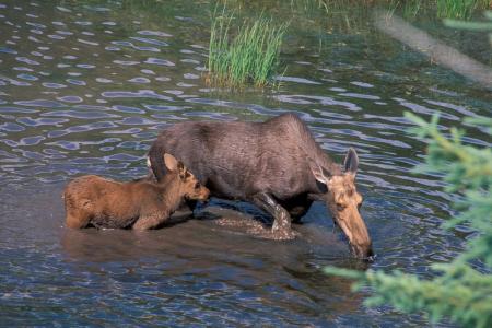 Moose GNP