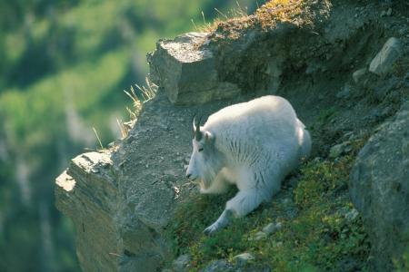 Mountain goat Glacier