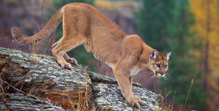 Mountain lion Glacier