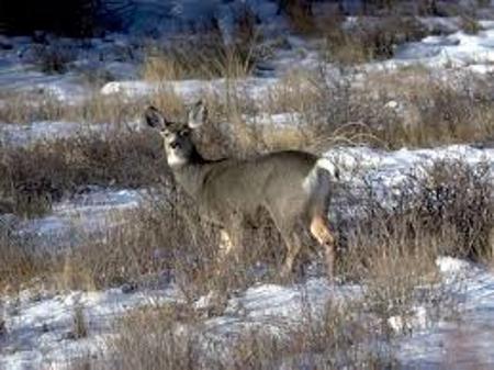 Mule deer Glacier