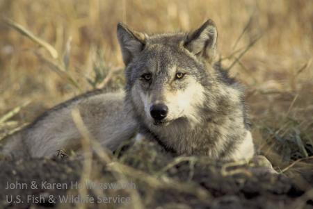 Gray wolf Glacier
