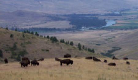 Bison USFWS