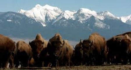 Bison MT