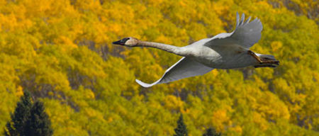 Trumpeter swan USFWS