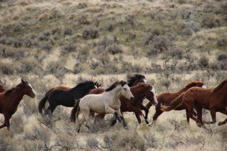wild horses MT